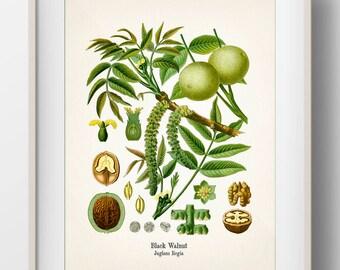 Vintage Black Walnut Botanical Print - KO-59 - Fine art print of an antique natural history botanical illustration