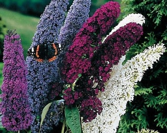 Fragrant Butterfly Bush 'Buddleia Davidii' 50 Seeds