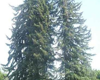 50 Pacific Silver Fir Tree Seeds, Abies amabilis - Dewinged