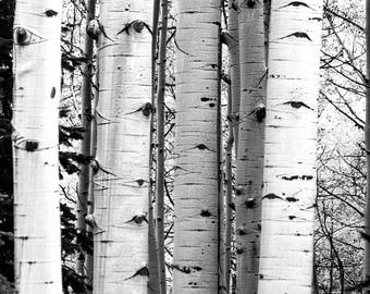Stand of Aspen Trees in Crested Butte Colorado (photo, various sizes, black & white or color)