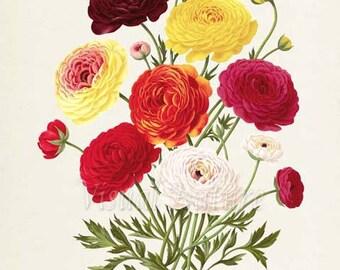 Persian buttercup Botanical Print, Ranunculus Bouquet, Flower Art Print, Flower Wall Art, Floral Art, Garden, red, yellow, white, pink