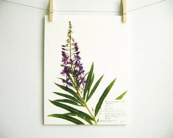 Fireweed Print; purple wildflower print pressed plant art purple flower print of original botanical print pressed flower art oregon art 134