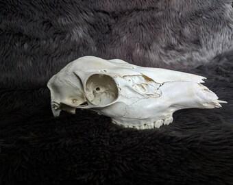 Real Doe Skull
