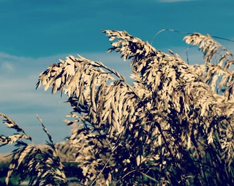 Sea oats, Folly Beach, SC, low country