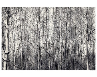 Landscape Photography PRINT, Birch Trees in Black and White, Wall Art
