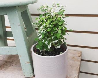 "Mini Snowbush Plant 4"""