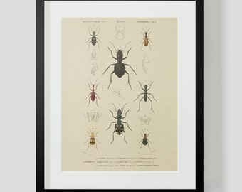 Insect Coleopteres Entomology Plate 1
