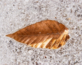 Nature Photography, Leaf, Frozen, Wall Art Decor