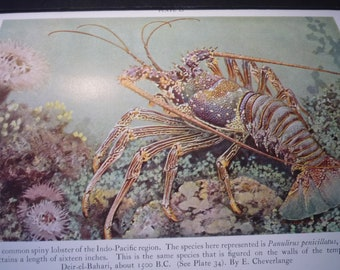 Spiny Lobsters Underwater color lithograph original 1934 - ocean nautical - print or matted 8 by 10 in frame marine life scientist science