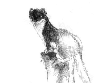 Stoat sketch | Limited edition fine art print from original drawing. Free shipping.