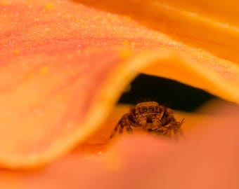 Jumping Spider Photography Print - Wildlife Photography - Nature Photography - Macro - Gifts for Nature Lovers - Jumping Spider photos