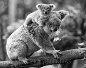 BABY KOALA and MOM Photo,...
