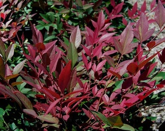 Nandina Burgundy Wine