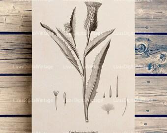 Printable decor, Instant download print, Vintage pictures, Thistle print, Botanical decor, Thistle decor, Floral clip art, PNG JPG 300dpi