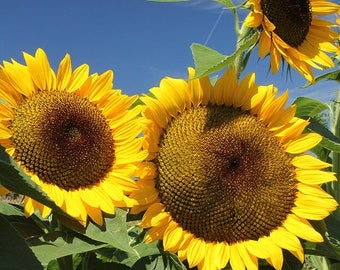 Summer Sunflower Photo Print