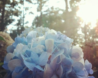 Hydrangea - Blue Flower Garden Sunlight Bokeh Baby Love Wedding Romance Dream Pastel Art Photography Wall Hanging Decor - 5x5 Photograph