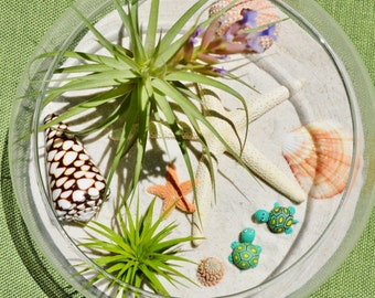 Beachy Turtle Terrarium with SeaUrchin -White & Sugar Starfish ~ Glass Bowl Terrarium Kit w 2 Air Plants - 2 turtles or Butterfly - Gift