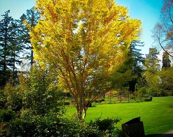 Coral Bark Japanese Maple 5-6 Foot