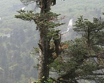50 Faber's Fir Tree Seeds, Abies fabri