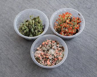 Lichen Variety Pack: British Soldier/ Pink Earth Lichen/ Pixie Lichen Combo Pack  (Perfect for Fairy Gardens and Glass Terrariums!)