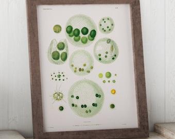 Volvox, Algae through the Microscope Science Print - Biology Art - Micro-organism Print - Microbiology Art - Science Student Gift