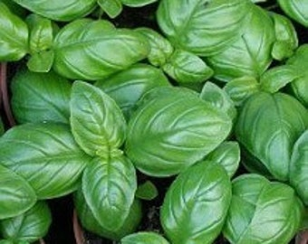 Italian Large Leaf Heirloom Basil Seeds Non-GMO Naturally Grown Open Pollinated Gardening