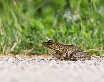 Bullfrog on the Path