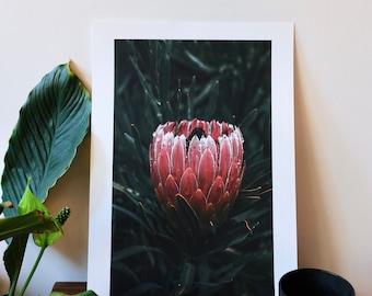 Protea Fine Art Print