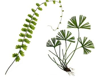 Fern,  Adiantum Caudatum, Redoute, Flower Clipart, Botanical Clipart