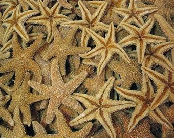 """Natural Tan Orange Sugar Real Sea Stars Starfish Med Large(6-7"""")FREE Shipping DIY Arts Crafts Beach Wedding Accents Frames Natures Supplies"""