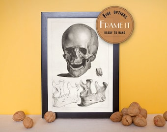 Vintage illustration of 'smiling' skull with detail of jaw bone - framed fine art print, art of anatomy, home decor FREE SHIPPING, 171
