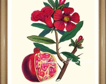 "Botanical Prints. Pomegranate Print. Fruit Wall Art. Pomegranate. 8x10"" 11x14"""