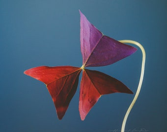 Fine Art Print, Clover Photo, Macro Art, Botanical Art, Oxalis Print, Burgundy, Nature Art, Still Life Print, Minimalism Art, Square Print