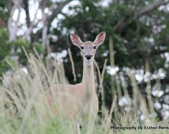 """Print of  """"Beautiful Deer"""", Nature Photography, Doe, Animal Photography, New Braunfels, Free Shipping, Wildlife, Texas, Peace and Calming,"""