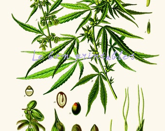 Cannabis sativa vintage printable art print 8x11 instant download