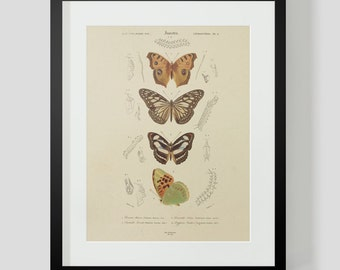 Vintage Insect Butterfly Entomology Plate 4