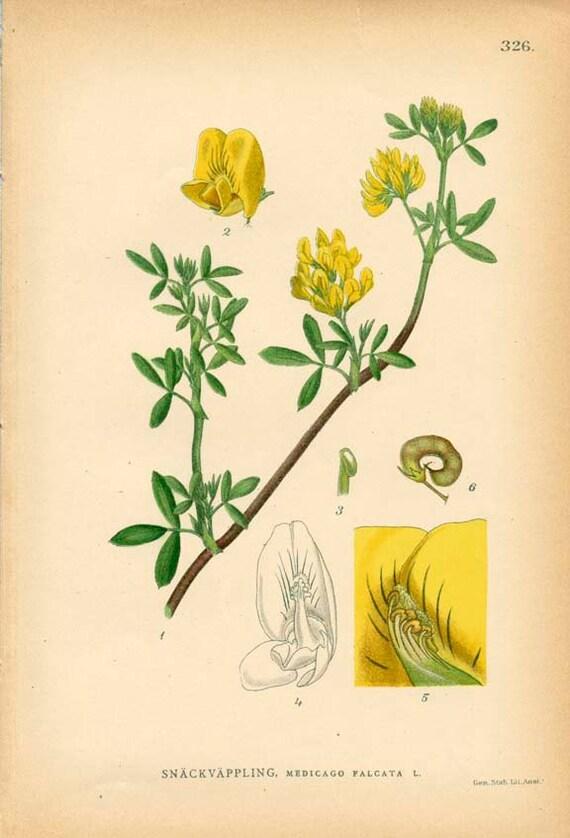 Items similar to yellow alfalfa botanical book plate 326 medicago items similar to yellow alfalfa botanical book plate 326 medicago falcata l on etsy mightylinksfo