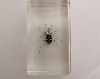 resin spider vintage cabinet of curiosities insect inclusion