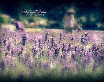 Purple Lavender Harvest, Greeting Card, Blank  Inside, Fine Art Photography, Nature and Flowers, dreamy, summer, french countryside, 5x7