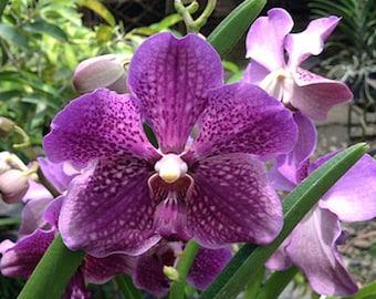 Orchid - Vanda Mamo Somjit Bangyikhan Blue ….. Stock #343