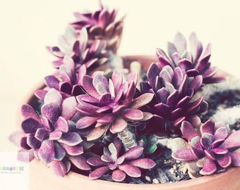 Echeveria- Fine Art Photography print 5x7 by Alana Gillett- Botanical Succulent Nature Photo Radiant Orchid Plum Cream Wall Art