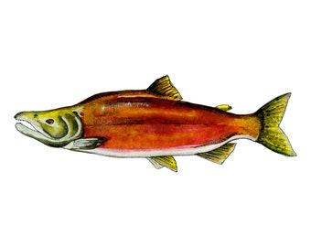 Sockeye Salmon Watercolor [original]