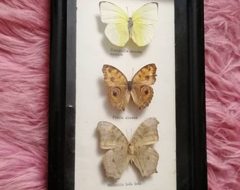 Vintage taxidermy framed mounted butterflies 1960s