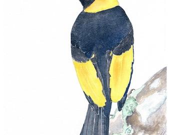 Yellow black art, Australian souvenir, Bowerbird art print, Watercolour bird art, Native bird wall art, Australian art print,  Kids wall art