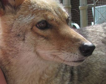 Lovely Yote