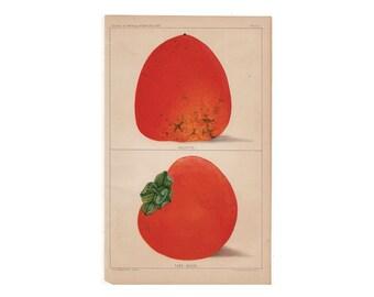 c. 1887 PERSIMMON PRINT - antique fruit print - antique botanical print - antique lithograph - tropical fruit kitchen art - persimmon