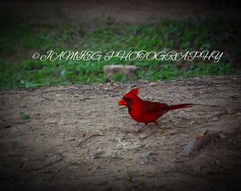 8x10 Print Of Cardinal Bird