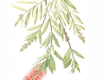 Archival print Bottlebrush, Callistemon from an original watercolour and coloured pencil painting.