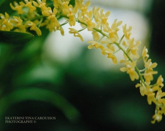 Arching Yellow Blossoms