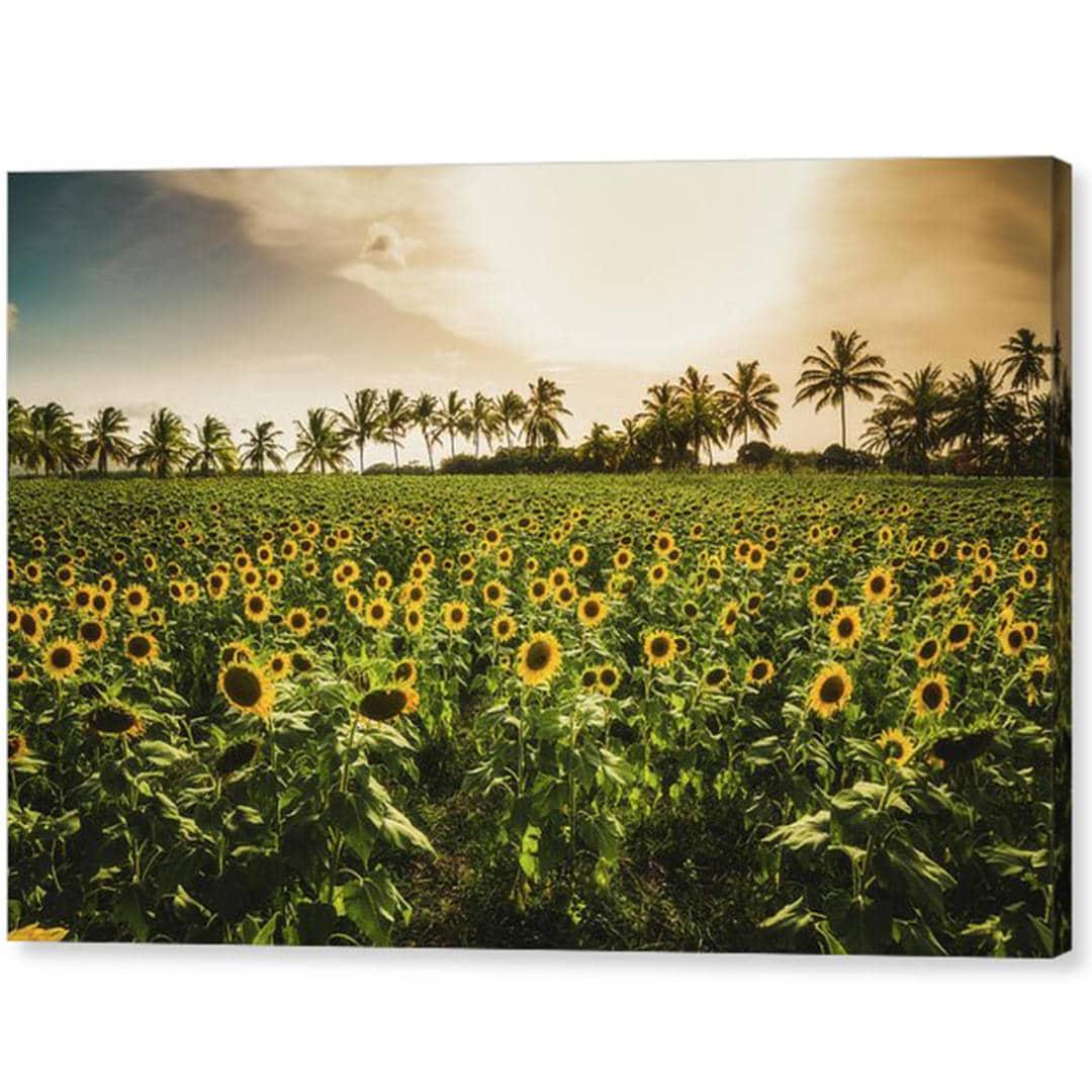 Sunflowers Field Puerto Rico Hacienda Resolución Wall Art